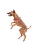 Red nose irish terrier dog gnaw chew stick Royalty Free Stock Photo