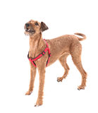 Red nose irish terrier dog gnaw chew stick Royalty Free Stock Photography