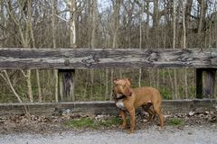 Red-Nose Pitbull on Bridge in the woods stock image