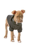 Red nose pitbull puppy Royalty Free Stock Image