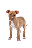 Red nose Pitbull puppy Stock Photo