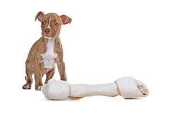Red nose Pitbull puppy Stock Image