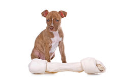 Red nose pitbull puppy Royalty Free Stock Images