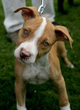 Red Nose Pitbull puppy. A Red Nose Pitbull Terrier sweet and looking ahead for his portrait Stock Photos