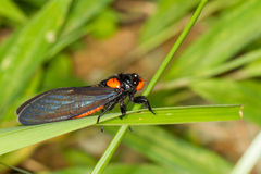 Red-nosed Cicada. Standing on grass Stock Photography