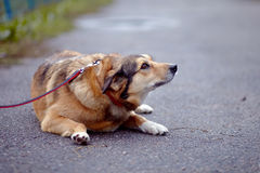 The red not purebred dog lies on the road Stock Photography