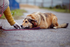 The red not purebred dog lies on the road Stock Images