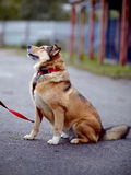 The red not purebred dog sits on the road Stock Photos