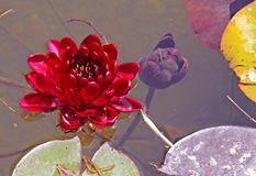 Red nymphaea Stock Image