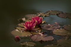 Red Nymphaea , in the pond Stock Image