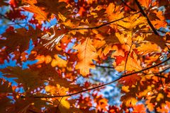 The red oak royalty free stock photos