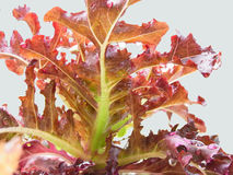 Red Oak. Hydroponic vegetable with green and dark reddish leaves Stock Photography