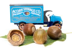 Red oak acorns with toy truck stock images