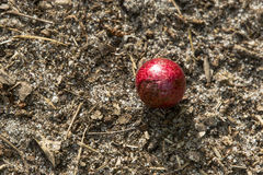 Red Oak Apple Gall with Pollen. A circular red  growth, called a gall, induced by insects causing an irritation on a tree, lies on the ground with pollen on it Stock Photography