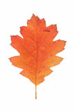 Red oak autumn leaf Stock Photo
