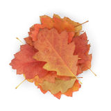Red oak autumn leaves Stock Photography