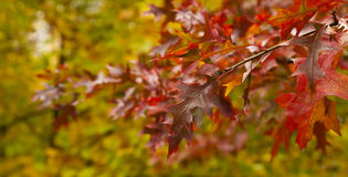 Red oak branch. In autumn forest Royalty Free Stock Images