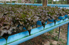 Red oak, cultivation hydroponics green vegetable Stock Photo