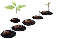 Red oak forest growing up Stock Image