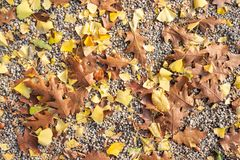 Red oak and Ginkgo biloba leaves on pebble ground stock photo