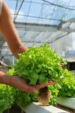Red oak, green oak, cultivation hydroponics green vegetable. In farm Stock Photos