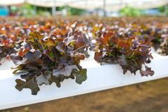 Red oak, green oak, cultivation hydroponics green vegetable Royalty Free Stock Photo