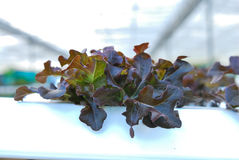 Red oak, green oak, cultivation hydroponics green vegetable Royalty Free Stock Photography