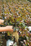 Red oak, green oak, cultivation hydroponics green vegetable Stock Photography