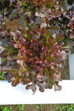 Red oak, green oak, cultivation hydroponics green vegetable Stock Photos