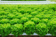 Red oak, green oak, cultivation hydroponics green vegetable Royalty Free Stock Images
