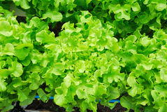 Red oak, green oak, cultivation hydroponics green vegetable Royalty Free Stock Photos