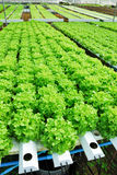 Red oak, green oak, cultivation hydroponics green vegetable Stock Images