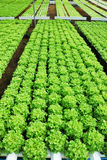 Red oak, green oak, cultivation hydroponics green vegetable Stock Image