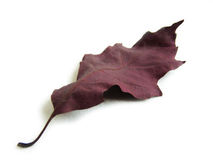 Red oak leaf. Single red/wine-colour oak leaf, decorative autumn on a white background Royalty Free Stock Image