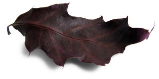 Red oak leaf. Single red/wine-colour oak leaf, decorative autumn on a white background Stock Photography