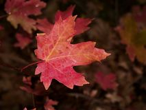 Red oak leaf Royalty Free Stock Image
