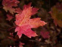 Red oak leaf. Macro image of red oak leaf Royalty Free Stock Image