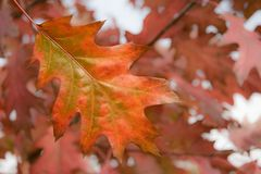 Red oak leaf in autumn Royalty Free Stock Photography