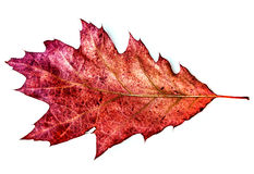 Red oak leaf Royalty Free Stock Photo