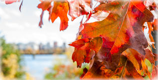 Red oak leaf foreground, city of Ottawa blurred background. Royalty Free Stock Image