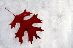 Red Oak Leaf Laying on Snow Stock Photography
