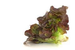 Red oak leaf lettuce Royalty Free Stock Image