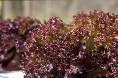 Red oak leaf lettuce Stock Images