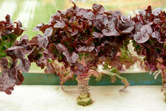 Red oak leaf lettuce in the farm Royalty Free Stock Photos