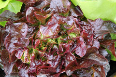 Red oak leaf lettuce Royalty Free Stock Photos