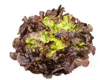 Red oak leaf lettuce front view over white Royalty Free Stock Image