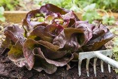 Red oak leaf lettuce Royalty Free Stock Photo