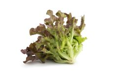 Red oak leaf lettuce isolated on a white background.  Stock Images