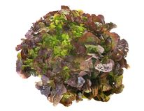 Red oak-leaf lettuce. In front of white background royalty free stock image