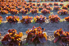 Red oak leaf letucce field in a row Stock Image